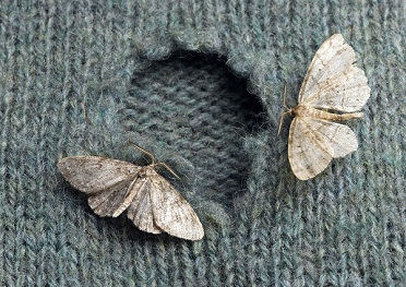 Moth treatment and removal