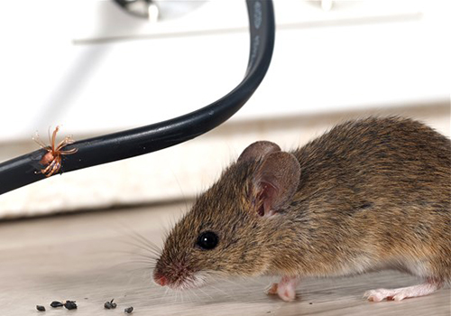 rodent rat mice extermination in hendon