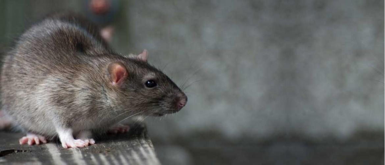 Rat removal near me